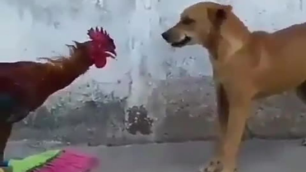 Dog VS Roosters